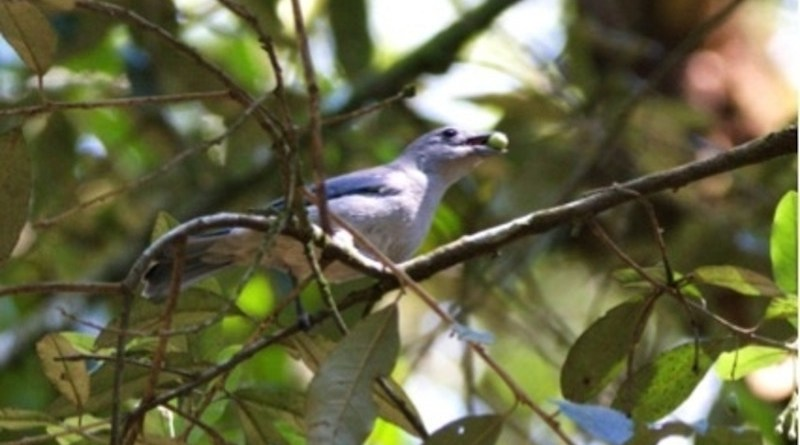 A study conducted at the University of São Paulo and published in Science correlates birds and plants in seed dispersal networks (Thraupis sayaca) CREDIT: Rodrigo Gusmão