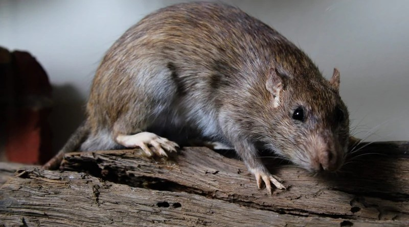 In Europe, the rats alone have caused damage in the amount of around 5.5 billion Euros during the period from 1960 to 2020. Photo: Senckenberg/G. Daley