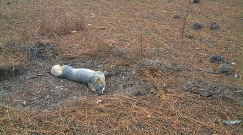 Gray fox populations seem to be declining in the Southeast, according to University of Georgia research. CREDIT: Sarah Webster