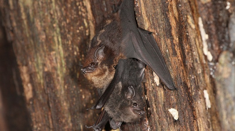 Mother-pup pair of the neotropical bat species Saccopteryx bilineata in the day-roost. The pup is attached to the mother's belly CREDIT: Michael Stifter