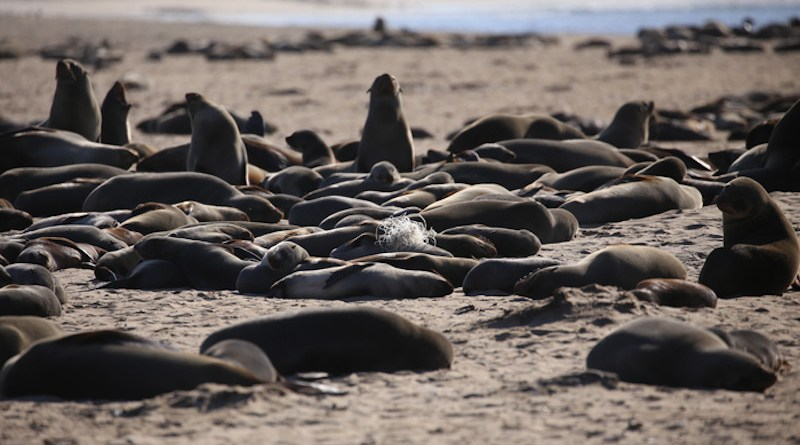 Fishing line and nets are having a major impact on Cape fur seals (Arctocephalus pusillus pusillus), the most common marine mammal observed around the coastline of South Africa and Namibia, where they are endemic. CREDIT: M Laubscher