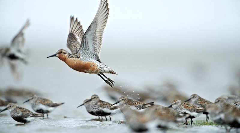 Red knot in the Wadden Sea National Park CREDIT: Photo: Lars Gejl/The Wadden Sea National Park