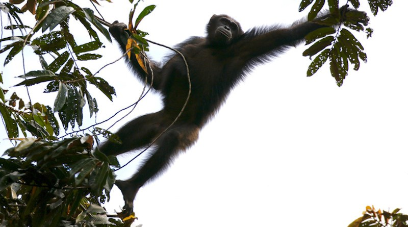 A new study examines where chimpanzees found refuge from climate instability during the past 120,000 years CREDIT: Emma Stokes/WCS