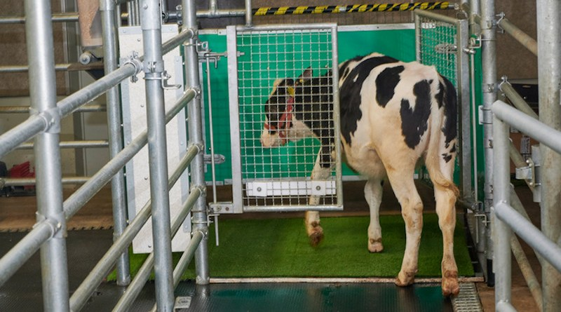 This photo shows a calf in a latrine undergoing MooLoo training. CREDIT: FBN