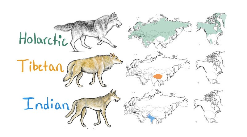 This illustration indicates the ranges of Holarctic, Tibetan and Indian wolf populations across the Northern Hemisphere. CREDIT: lllustration by Lauren Hennelly, UC Davis