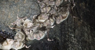 Common vampire bats (Desmodus rotundus) inside a tree roos CREDIT: Simon Ripperger, CC BY 4.0 (https://creativecommons.org/licenses/by/4.0/)