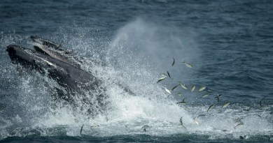 A new study finds that that some large whale species, including humpbacks, use the waters off New York and New Jersey as a supplemental feeding area feasting on two different types of prey species. CREDIT: Copyright Julie Larsen Maher