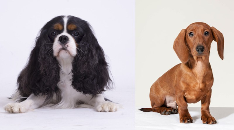 Comparisons of dachshunds with and without signs of heart disease were used to help identify mutations that potentially predispose cavalier King Charles spaniels to develop MMVD CREDIT: Måns Engelbrektsson, Swedish Kennel Club, CC-BY 4.0