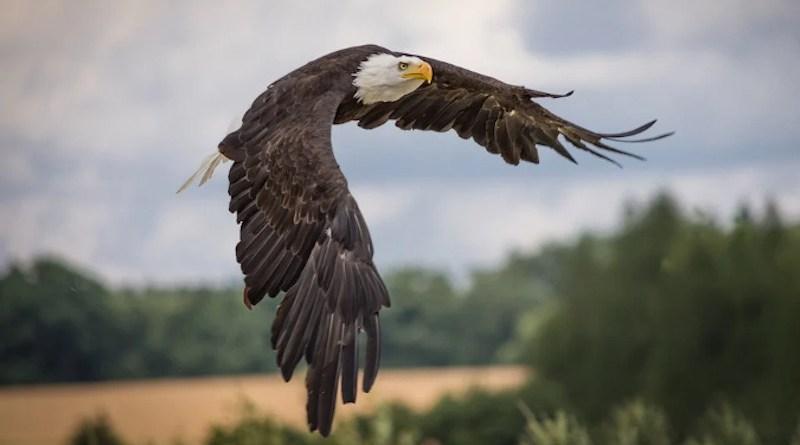 Bald Eagle Raptor Birds Of Prey Bird Feathers Close Up