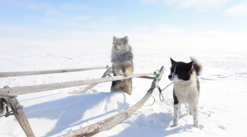 Working dogs of the Iamal-Nenets reindeer herding peoples from where the Samoyed dog breed originated. CREDIT: Robert Losey (LMU).