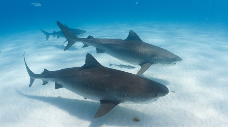 Tiger sharks form social groups at sites where they are fed by dive tourism operators. CREDIT: Neil Hammerschlag, Ph.D., University of Miami Rosenstiel School of Marine and Atmospheric Science