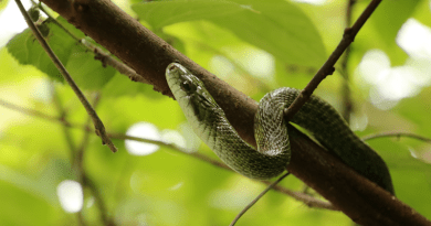 The research team studied rat snakes and wild boar across a range of radiation exposures, examining biomarkers of DNA damage and stress. CREDIT: Hannah Gerke/University of Georgia