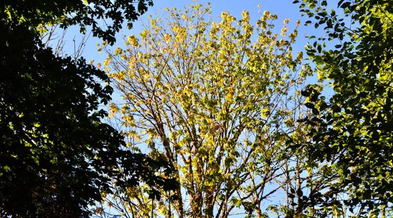 A bigleaf maple in decline in Washington's Central Cascades region. CREDIT: Jacob Betzen/University of Washington