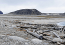 """Geoscientist Georgia Hole used tree rings to retrace the paths of driftwood, once frozen in sea ice, as it made its way through the Arctic. """"Some of these beaches are really full of driftwood—driftwood as far as the eye can see. And when you remember that these areas we were studying had no forest, completely treeless, it gives you that sense of scale."""" -GH CREDIT: Georgia Hole"""