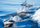 Pacific white-sided dolphins swim off the coast of the Salish Sea. CREDIT: Matt Whelan, Salish Sea in Focus