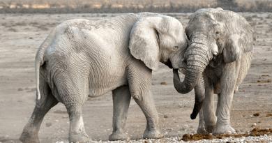 Elephants Animals Safari African Bush Elephants