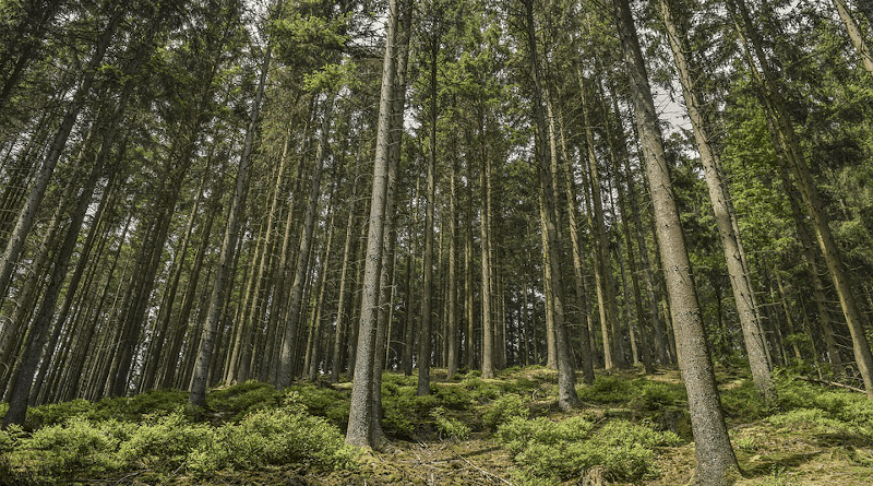 black spruce trees forest