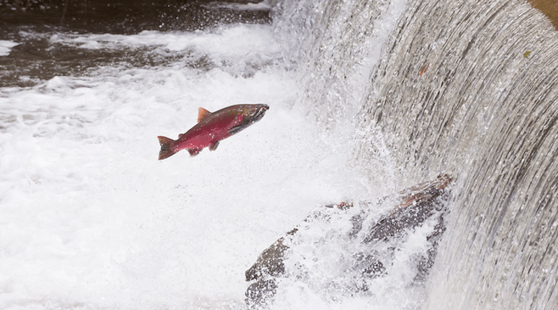 A coho salmon jumps out of the water in Fall Creek, Oregon. CREDIT: Lynn Ketchum, Oregon State University.