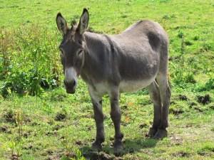 Photo d'un âne dans un pré