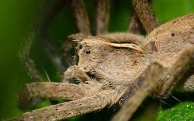 Est ce que les araignées géantes existent ?