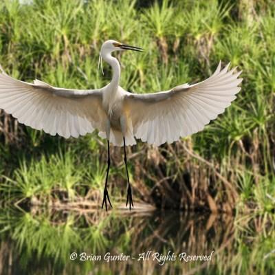 Dancing Egret - Brian Gunter