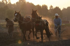 Una yunta de caballos en Tlaxcala. Foto: J. Guadalupe Pérez