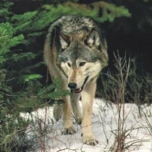 Ne lepődjünk meg, ha farkast látunk