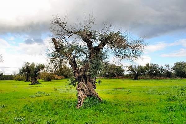 Il culto dell'economia continua a uccidere gli innocenti olivi pugliesi