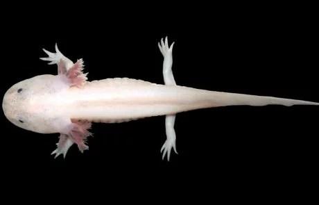 Salamanders and zebrafish regrow limbs: So, why not humans?