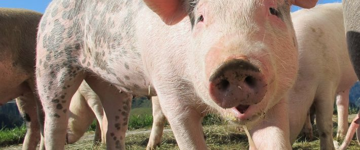 Gene editing could soon put an end to livestock diseases
