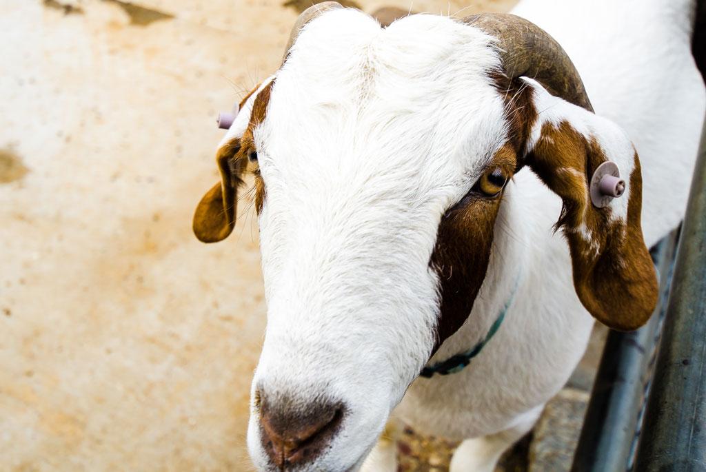 Surrey Docks Goat