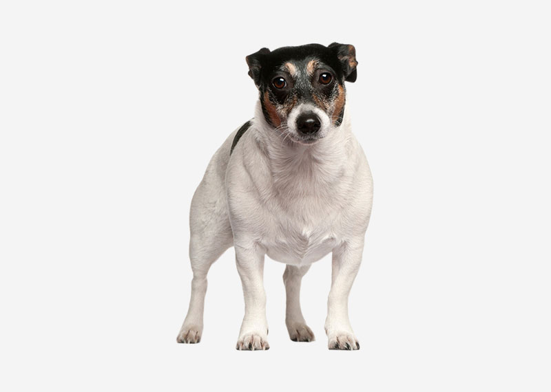 Europetnet Teddy Roosevelt Terrier