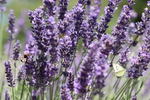 Bulgarian Lavender Festival