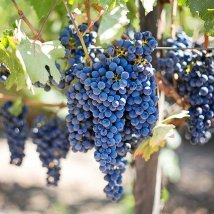 Bulgarian Wine and Rakia