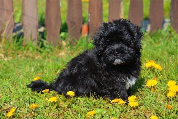 Havaneser Breed Dog Breed Information Amp Pictures