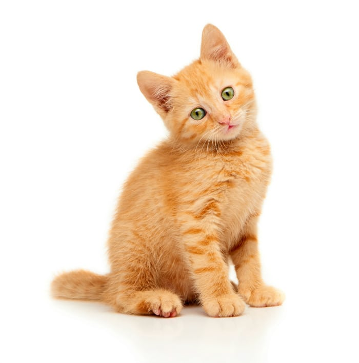 Gatos Todo Mascotas