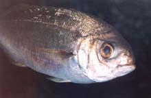 Besugo (Pagellus cantabricus)