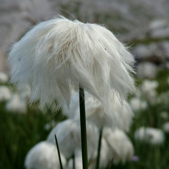 White_fluffy_flowers