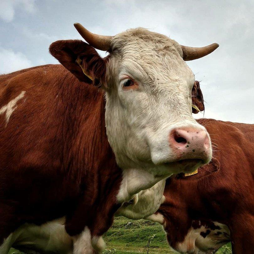 Cows keep me company 🐄