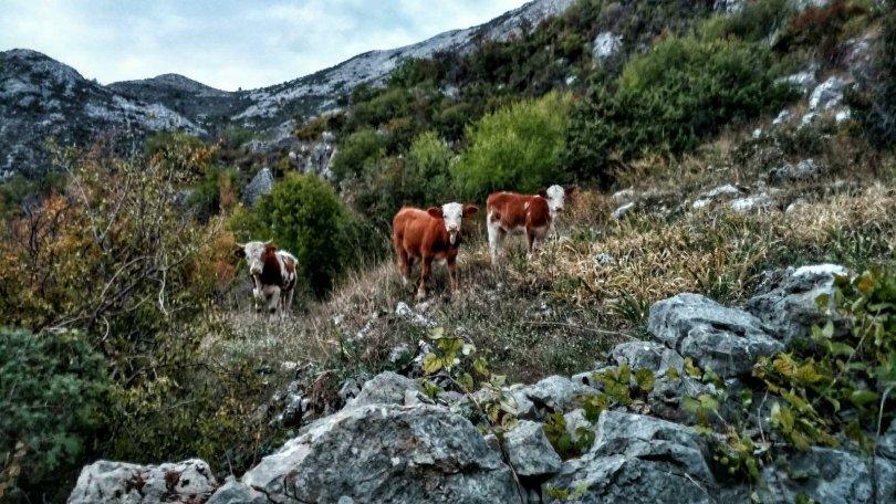 Nog meer koeien en toeters en bellen
