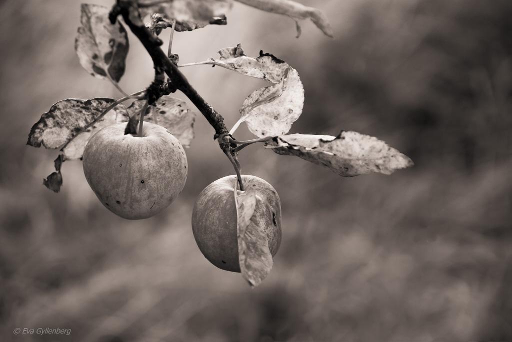 Ekerö - Äpplen