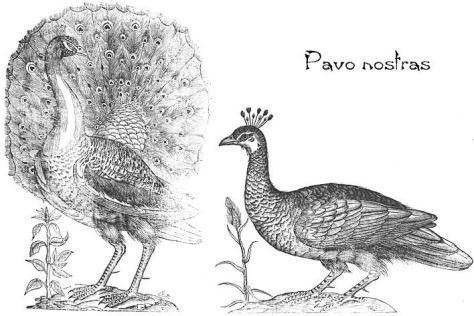 pavone - disegnare la natura