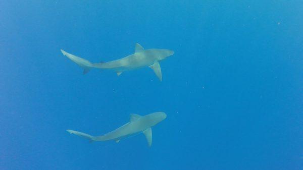 Galapagos Sharks 2