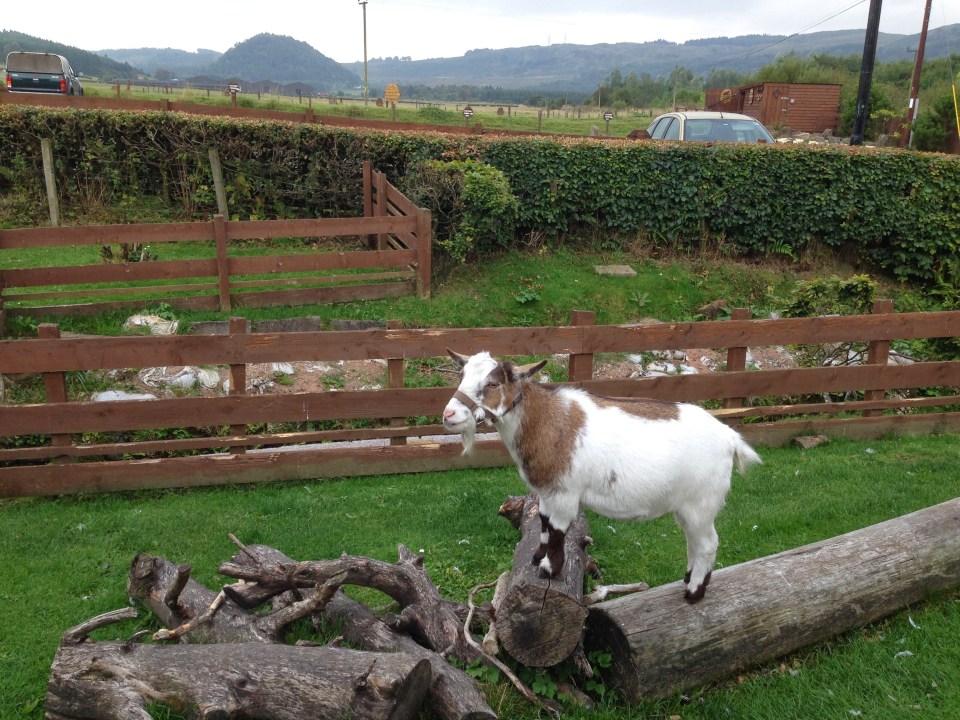 The Beech Tree Goat