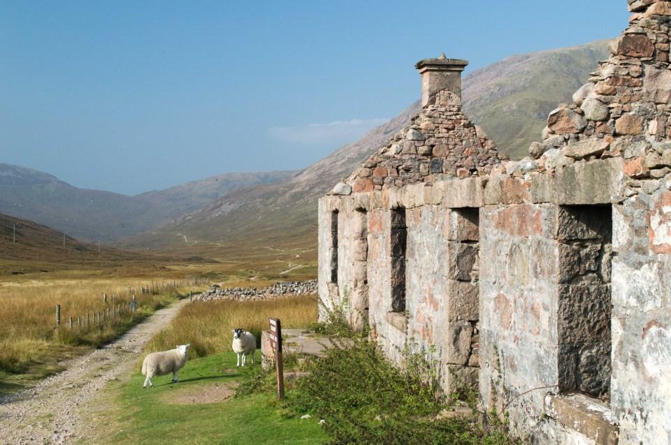 West Highland Way Sheep