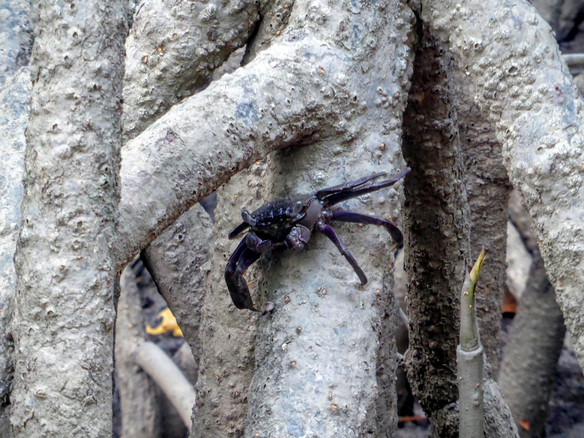 cherating crabe