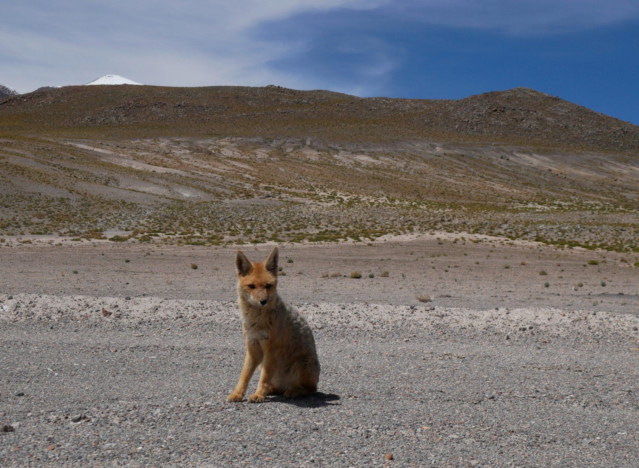 renard bolivie