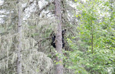 Observation de l'ours noirs au Québec