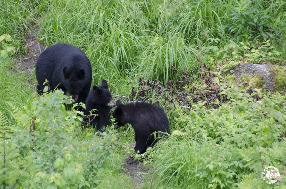 ours noirs au Québec