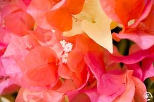 Fleurs Martinique